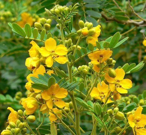 SENA (Cassia Angustifolia)