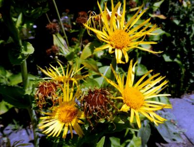 OMAN – Inula Helenium L.