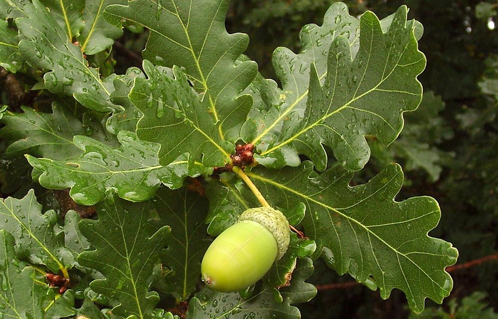 HRAST (Quercus Robur – Lužnjak; Quercus Petraea Matt. – Kitnjak)