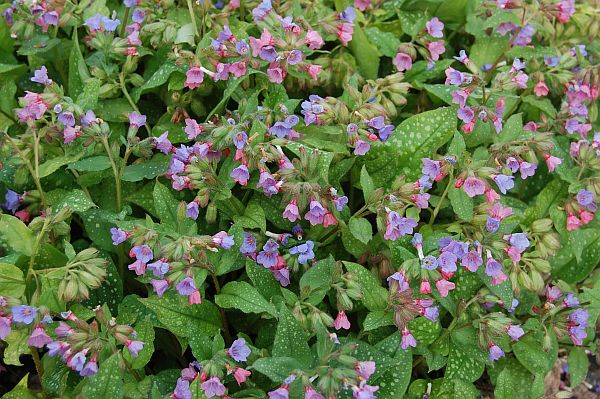 PLUĆNJAK (Pulmonaria Officinalis)