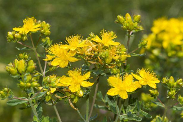 KANTARION (Hypericum Perforatum L.)